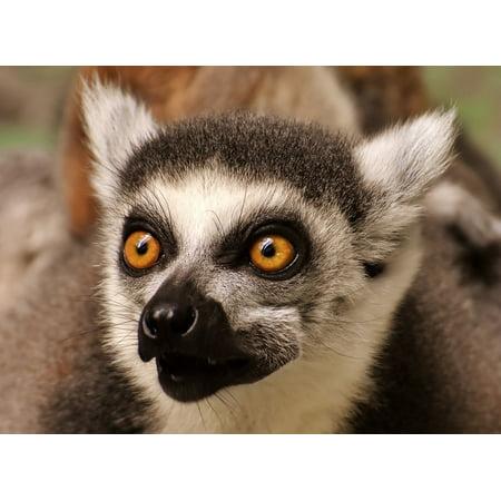 - Peel-n-Stick Poster of Lemur Cute Eat Sweet äffchen Animal Zoo Monkey Poster 24x16 Adhesive Sticker Poster Print