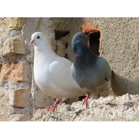LAMINATED POSTER Birds Couple Pigeons White Dove Poster Print 24 x 36 ()