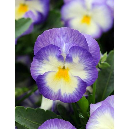 Halo Lilac Blue Hardy Violet Perennial  - Viola - Live Plant - Quart Pot