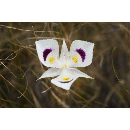 Mariposa Lily Print Wall Art By Brenda Petrella Photography LLC