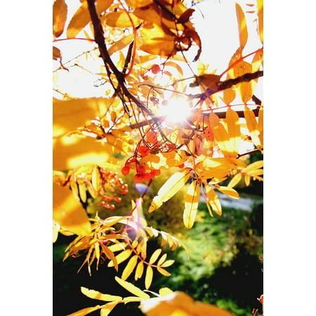 LAMINATED POSTER Nature Autumn Rowan Clusters Of Rowan Autumn Leaves Poster Print 24 x 36](Roman Leaves)