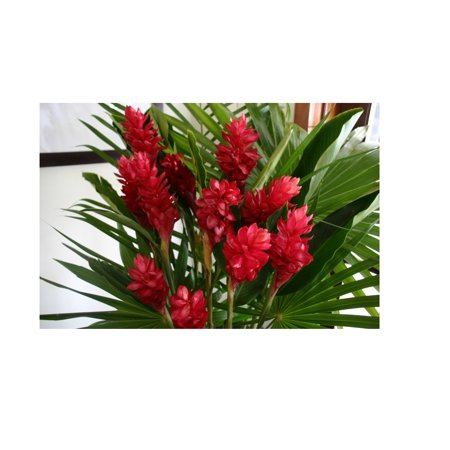 HAWAIIAN RED GINGER PLANT 2