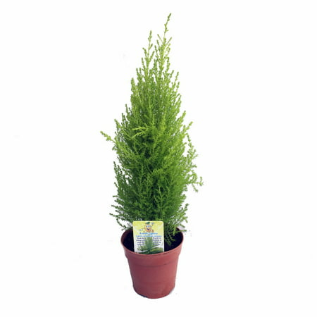 Lemon Scented Goldcrest Cypress Tree - Indoors/Out - 4.5