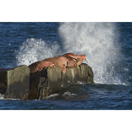Pacific walrus (Odobenus rosmarus) males hauled out on Flat Rock waves crashing against rock behind walruses Walrus Islands State Game Sanctuary Round Island Bristol Bay Western Alaska USA Rolled Canv ()