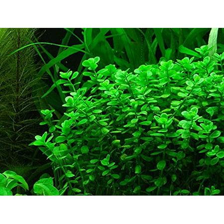 Potted Moneywort - Easy Aquarium Live Plant - 7-9 stems