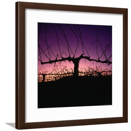 - Chardonnay Cordon at Sunset on the Walker Ranch in the Napa Valley, California, USA Framed Print Wall Art By Wes Walker
