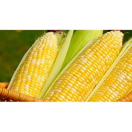 Peaches & Cream Sweet Corn Non GMO Seeds - 4 Oz, 500 (Non Gmo Corn)
