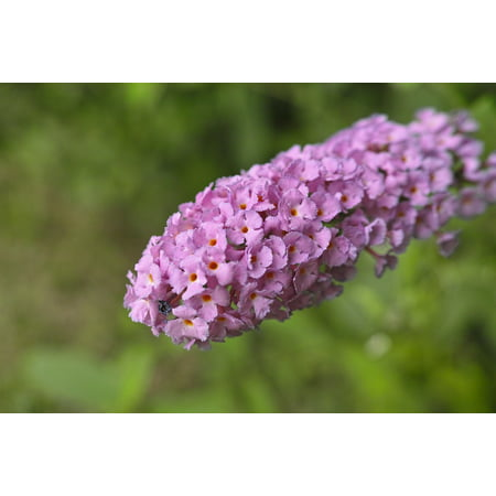 LAMINATED POSTER Butterfly Bush Fujiutsugi Tightly Flowers Plant Poster Print 11 x