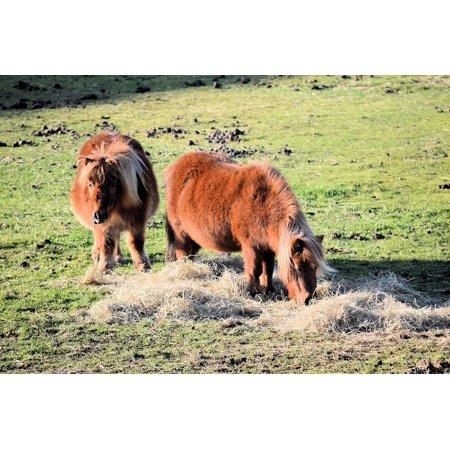 LAMINATED POSTER Stallion Wild Black Pony Animal Horses Farm Poster Print 24 x