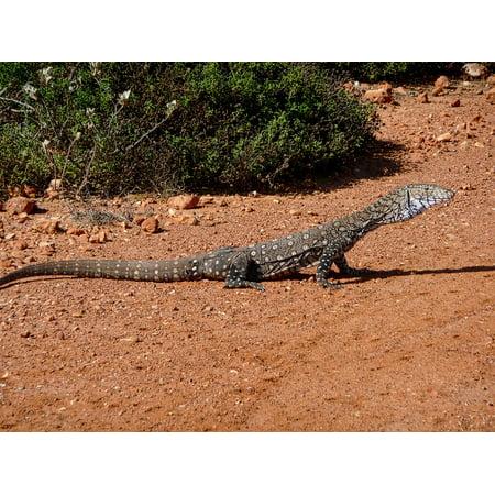 Australian Monitor (Canvas Print Lizard Australia Wildlife Monitor Reptile Goanna Stretched Canvas 10 x 14 )