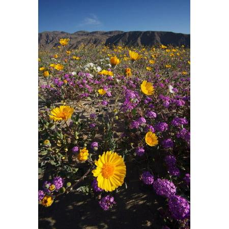 USA, California, San Diego. Desert Sunflower and Sand Verbena Print Wall Art By Jaynes Gallery