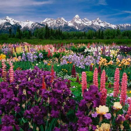 Iris and Lupin Garden, Teton Range Print Wall Art By Adam Jones