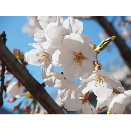 Yoshino Cherry - Canvas Print Yoshino Cherry Tree Cherry Flowers Spring Stretched Canvas 10 x 14