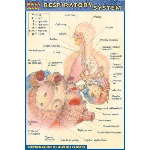 Quick Study Respiratory System