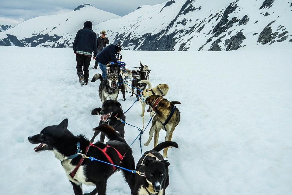 Laminated Poster Dog Sled Dog Snow Sled Sledding Sled Dogs Alaska Poster 24x16 Adhesive Decal by