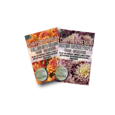 Falling Into Orange Mum Chrysanthemum 300+ Seeds (Includes Free Pack Antique Purple Mums) Free Flower Seeds