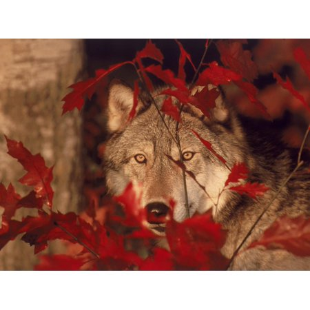 Gray Wolf Peeking Through Leaves Print Wall Art By Lynn M. Stone ()