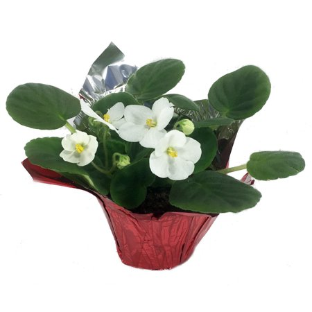 Image of 4 in African Violet