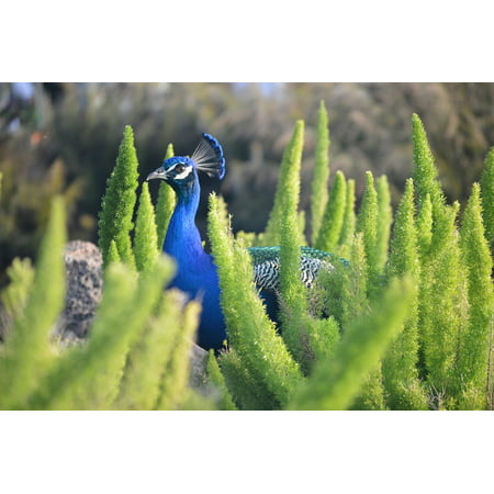 - LAMINATED POSTER Colorful Wildlife Animal Blue Zoo Peacock Bird Poster Print 24 x 36