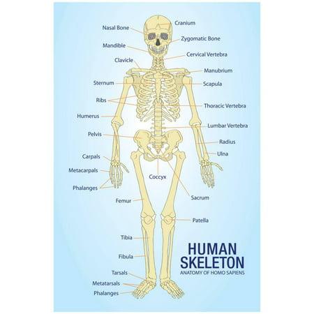 - Human Skeleton Anatomy Anatomical Chart Poster Print Poster - 13x19