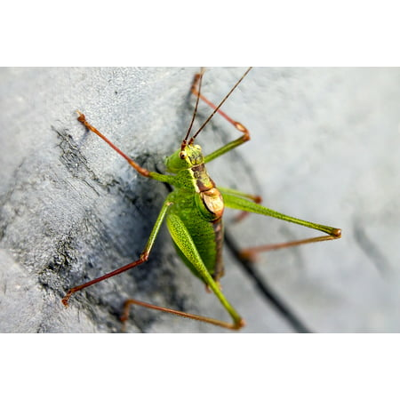 Peel-n-Stick Poster of Acid Green Color Colors Beast Grasshopper Green Poster 24x16 Adhesive Sticker Poster Print (Best Stickers)