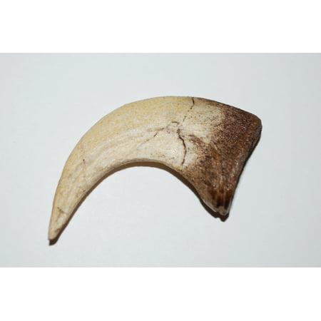 VELOCIRAPTOR Dinosaur Claw Cast (REPLICA Claw)