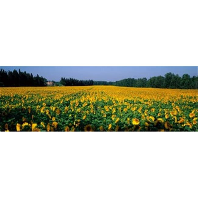 Panoramic Images PPI41371L Sunflowers St Remy de Provence Provence France Poster Print by Panoramic Images - 36 x 12 - image 1 of 1