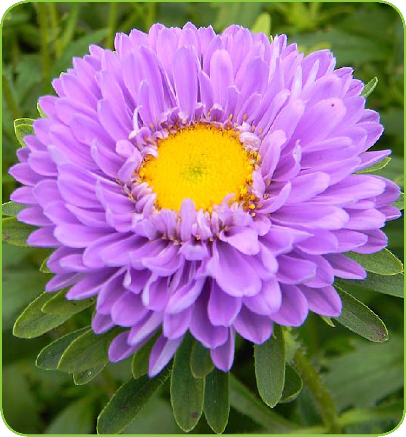 Image of 2.5qt Aster