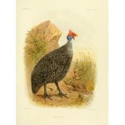 Natural History of Madagascar 1885 Numida Tiarata Canvas Art - JG Keulemans (24 x 36)