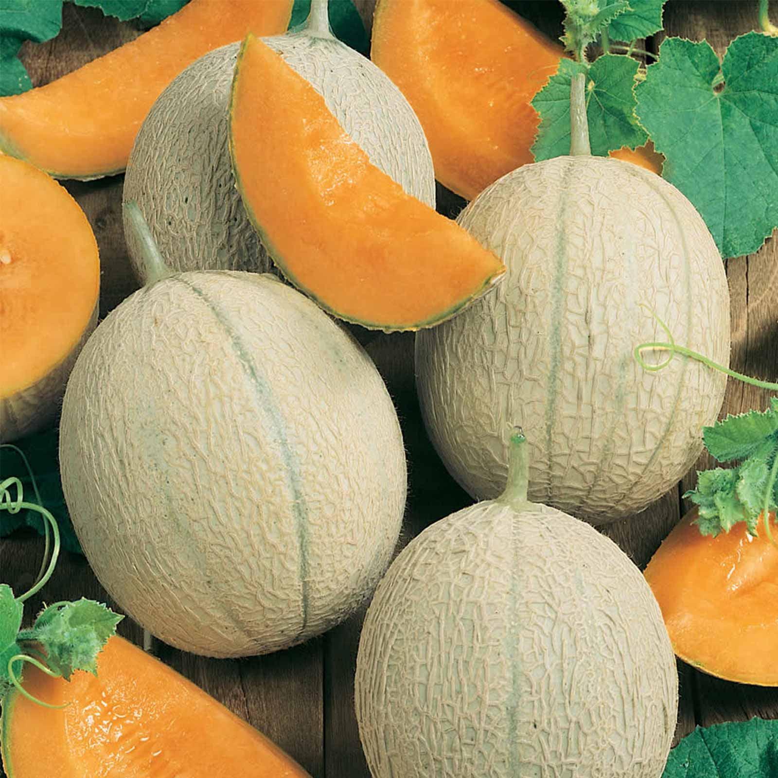 Cantaloupe Melon Garden Seeds - Hearts of Gold - 5 Lb Bulk - Non-GMO, Heirloom, Vegetable Gardening Seeds - Fruit