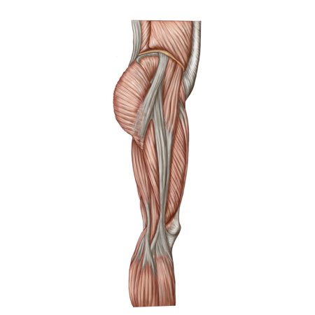 Anatomy Of Human Thigh Muscles Anterior View Poster Print Walmart