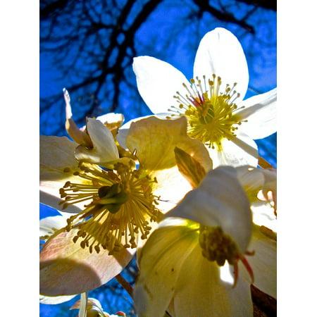 Peel N Stick Poster Of White Easter Flowers Pistils Poster 24x16