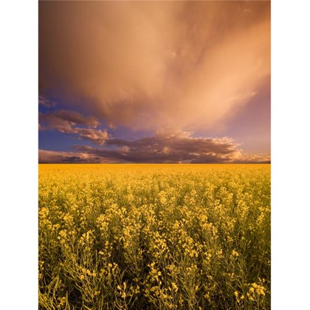 Posterazzi DPI1790389LARGE Sunset On A Canola Field Poster Print by Darren Greenwood, 24 x 32 - Large - image 1 de 1