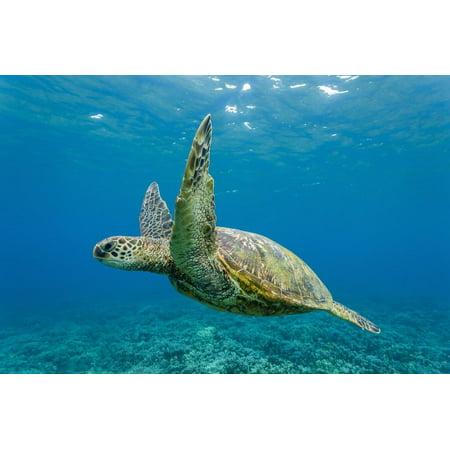 Green Sea Turtle (Chelonia Mydas) Underwater, Maui, Hawaii, United States of America, Pacific Print Wall Art By Michael