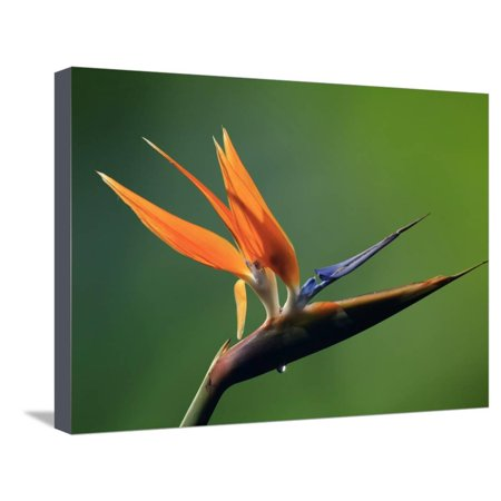 Paradise Costa Rica - Bird of Paradise Flower (Strelitzia), Costa Rica Stretched Canvas Print Wall Art By Gregory Basco