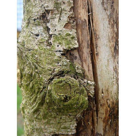 Canvas Print Tree Old Form Face Trunk Bark Stretched Canvas 10 x 14