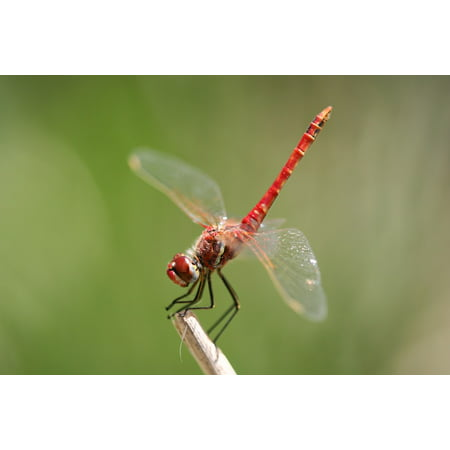 Canvas Print Fly Speed Propeller Red Insect Dragonfly Wing Stretched Canvas 10 x