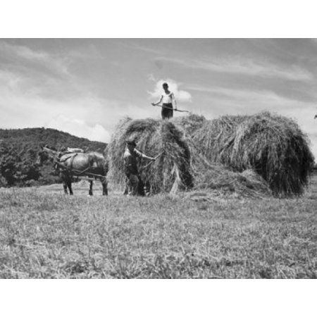 Two farmers loading hay on a horse cart Vermont USA Stretched Canvas -  (18 x 24)