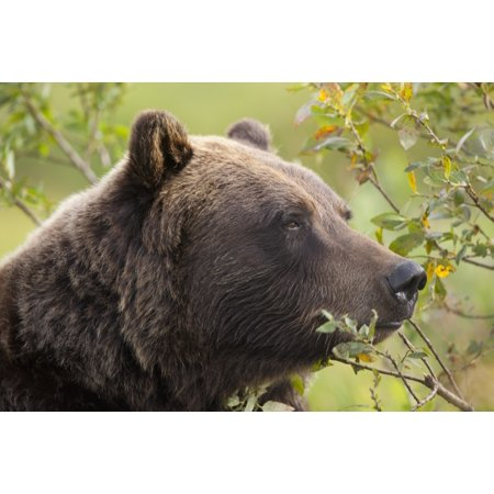 Profile Of An Adult Brown Bear Sow Amongst Green Brush At Alaska Wildlife Conservation Center Southcentral Alaska Summer Captive Canvas Art - Doug Lindstrand  Design Pics (19 x 12) - Halloween Zumba Pics
