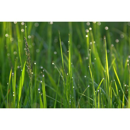 LAMINATED POSTER Morning Grass Water Drops of Water Rosa Meadow Poster Print 11 x