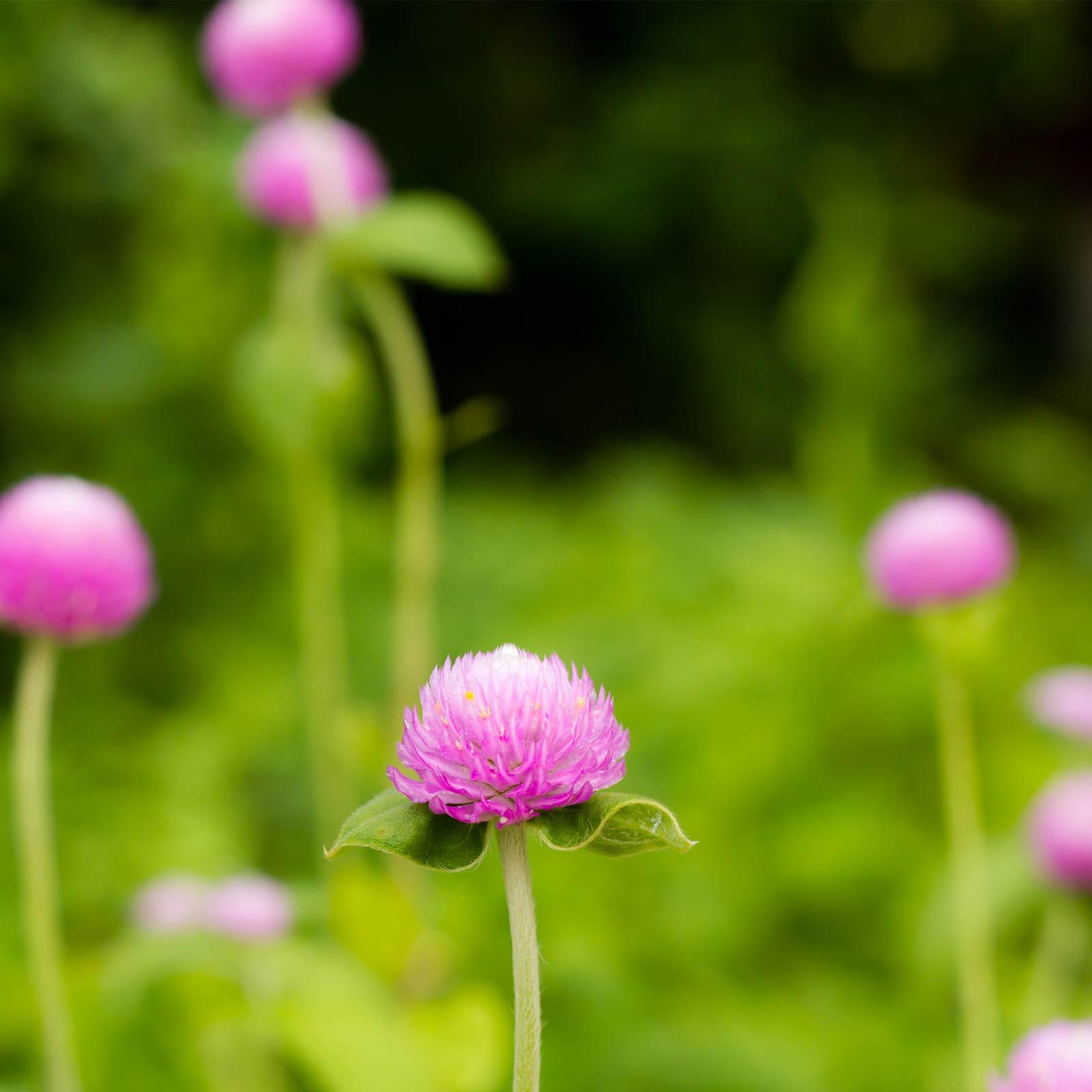 Gnome Series Gomphrena Flower Garden Seeds - Mix - 1000 Seeds - Annual Flower Gardening Seeds - Gomphrena globosa
