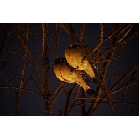 Moonlit Bird (Canvas Print Night Bird Pigeons Moonlight Birds Nature Animal Stretched Canvas 10 x 14 )