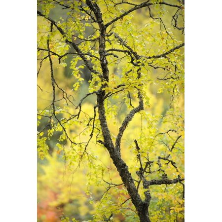 Birch Tree (Betula) by the Oulanka River, Finland, September 2008 Print Wall Art By Widstrand ()