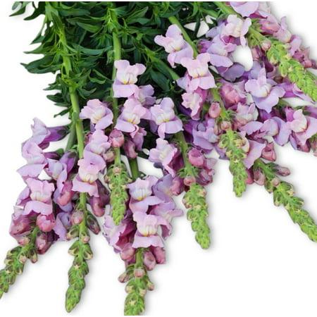 Lavender Snapdragon Potomac Seed (Snapdragon 100 Seeds)