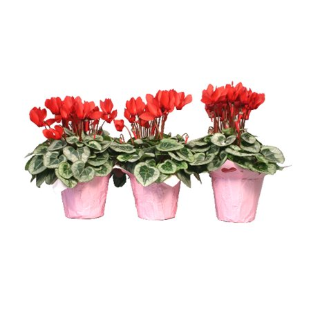 "Image of Valentine's Day Cyclamen in 4.5"" Pot"