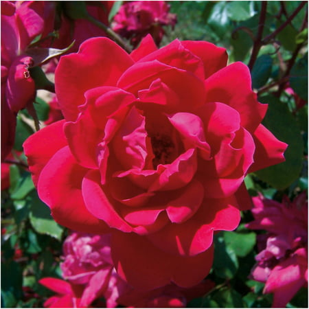 Red Double Knock Out Rose, Landscape and Garden (1 Young Plant)