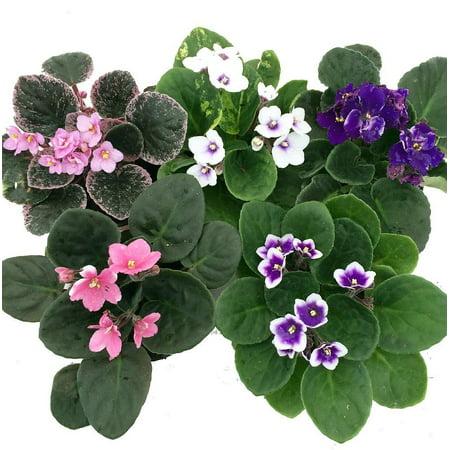 Novelty African Violet - 4