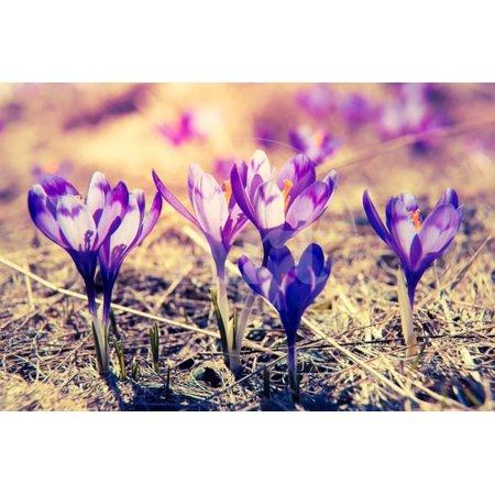 Purple Crocus Flower on the Spring Meadow. Carpathian, Ukraine, Europe. Beauty World. Retro Filtere Print Wall Art By Leonid Tit