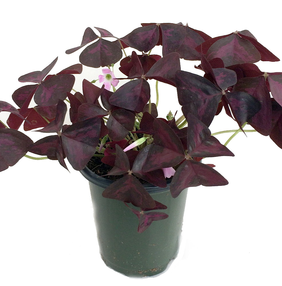 Rare Purple Rain Shamrock Plant - Easy Houseplant - Oxalis Francis on hosta plants with purple flowers, trees and shrubs with purple flowers, orchids with purple flowers, hibiscus with purple flowers, bonsai with purple flowers, peppers with purple flowers, garden with purple flowers, shade plants with purple flowers, window boxes with purple flowers, art with purple flowers, farm crops with purple flowers, aquatic plants with purple flowers, gardening with purple flowers, grasses with purple flowers,