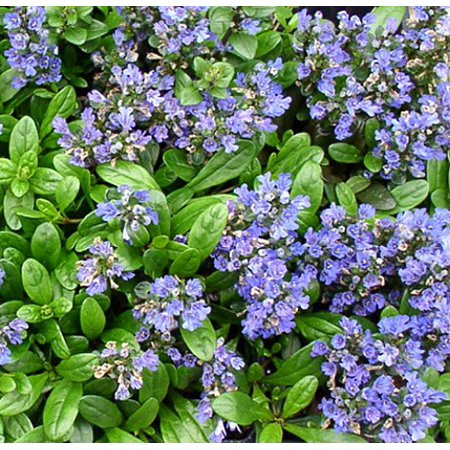 Mint Chip Ajuga - Carpet Bugle - 4 Plants - 1 3/4